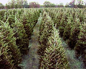 Long rows of trees